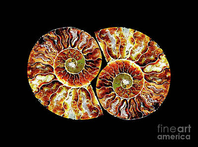 Photograph - Ammonite Fossil - 1 - Pair 3 by Paul W Faust - Impressions of Light