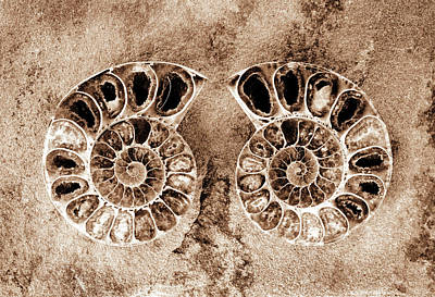 Photograph - Ammonite Fossil Pair - 8289 by Paul W Faust - Impressions of Light