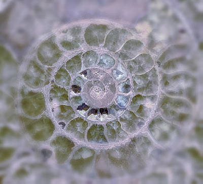 Photograph - Ammonite Lavender And Blue by Gigi Ebert