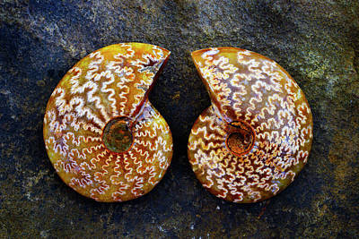 Photograph - Ammonite Twin - 8307 by Paul W Faust - Impressions of Light