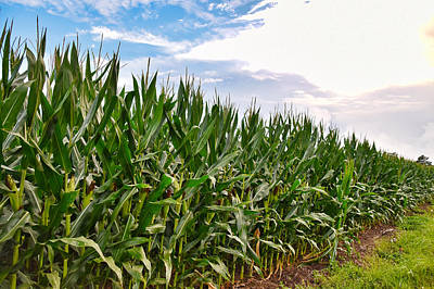 Photograph - Among The Corn Stalks by Linda Brown