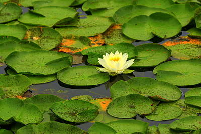 Photograph - Among The Lily Pads by Suzanne DeGeorge