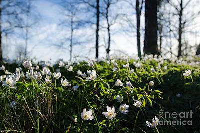 Photograph - Among Windflowers On The Ground by Kennerth and Birgitta Kullman