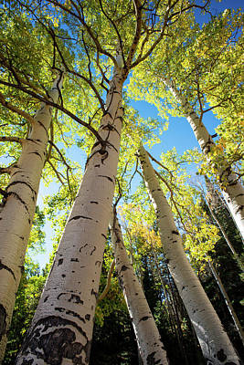 Photograph - Aspen Dance by Dana Sohr