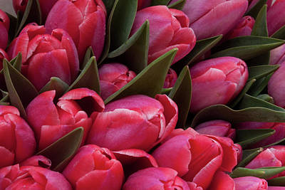 Photograph - Amsterdam Red Tulips by Jill Smith