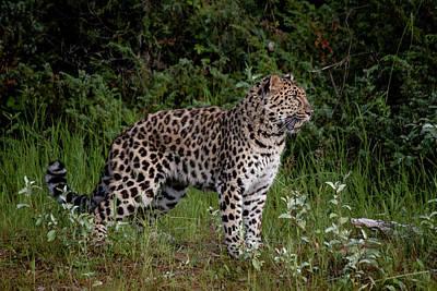 Photograph - Amur Leopard 2 by Teresa Wilson