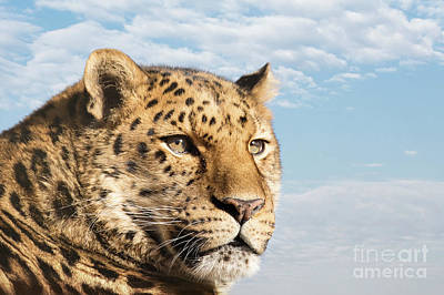 Photograph - Amur Leopard Against Blue Sky by Jane Rix