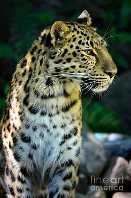 Photograph - Amur Leopard by Deb Halloran