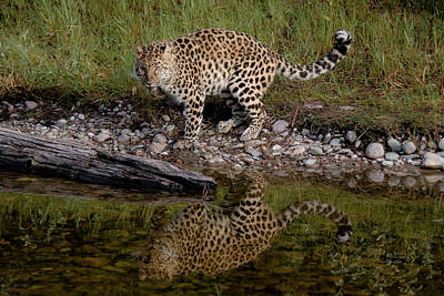 Typography Tees - Amur Leopard Reflection by Teresa Wilson