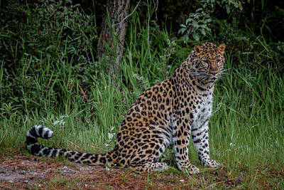 Photograph - Amur Leopard by Teresa Wilson