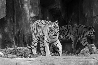 Photograph - Amur Tiger - Black And White by Susan McMenamin