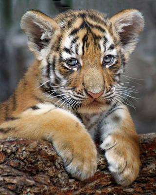 Photograph - Amur Tiger - Cub by Nikolyn McDonald