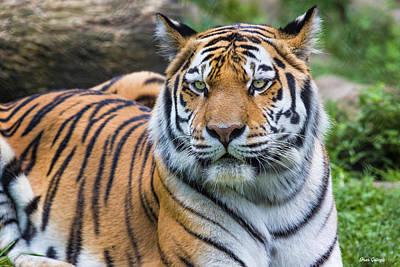 Photograph - Amur Tiger by Fran Gallogly