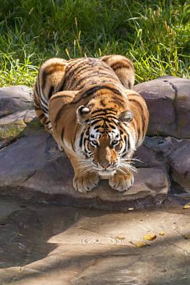 Photograph - Amur Tiger by Liza Eckardt