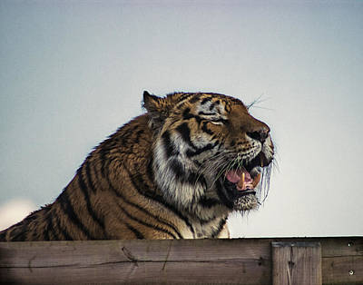 Amur Tiger Art Print by Martin Newman