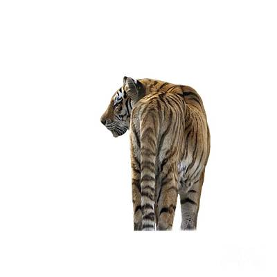 Photograph - Amur Tiger On Transparent Background by Terri Waters