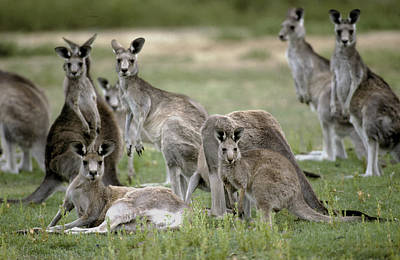 An Alert Mob Of Eastern Grey Kangaroos Art Print by Jason Edwards