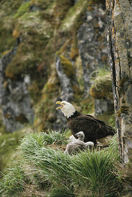 An American Bald Eagle And Chicks Art Print by Klaus Nigge