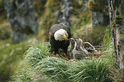 An American Bald Eagle Feeds Its Young Art Print by Klaus Nigge