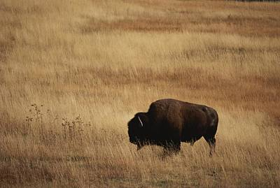 An American Bision In Golden Grassland Art Print by Michael Melford