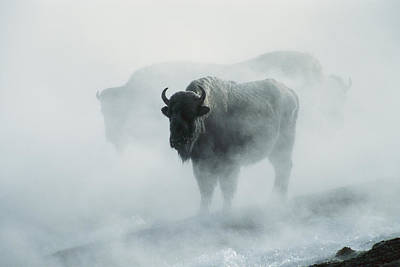 Natural Forces Photograph - An American Bison Bull Bison Bison by Michael S. Quinton