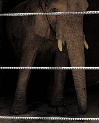 Photograph - An Apology To Elephants by Jeff Heimlich