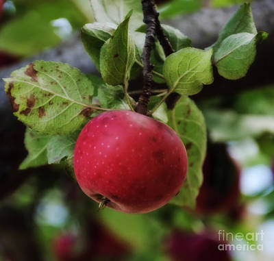 Photograph - An Apple A Day by Debra Fedchin