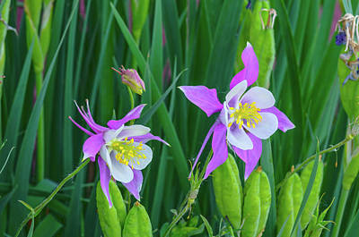 Photograph - An Apt Emblem Of My Home Sweet Home State, Colorado Columbine  by Bijan Pirnia