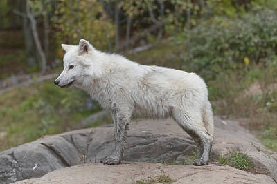 Photograph - An Arctic Wolf by Josef Pittner