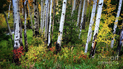 Photograph - An Aspen Fall by Doug Sturgess