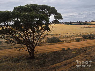 Photograph - An Australian Tree by Tim Richards