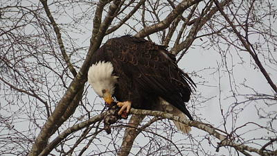 Photograph - An Eagle Eating Lunch by Karen Molenaar Terrell