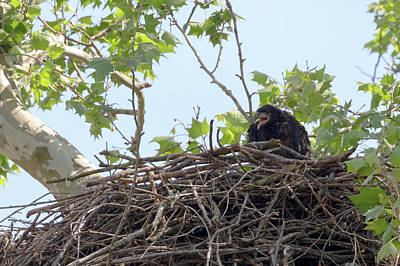 Photograph - An Eaglet Cries by Susan Rissi Tregoning