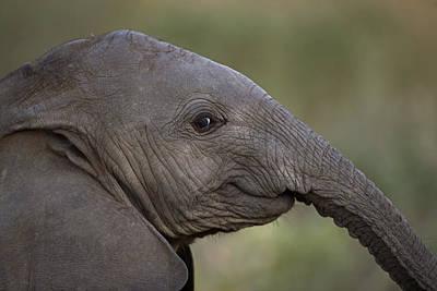 An Eight-month-old Elephant Calf Art Print by Michael Nichols
