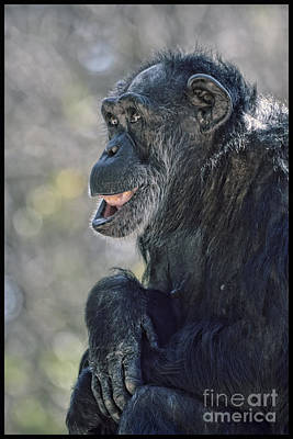 Photograph - An Elderly Chimp Enjoying Life by Jim Fitzpatrick