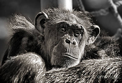 Photograph - An Elderly Chimp In Thought by Jim Fitzpatrick