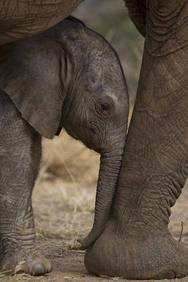 Animal Behavior Photograph - An Elephant Calf Finds Shelter Amid by Michael Nichols