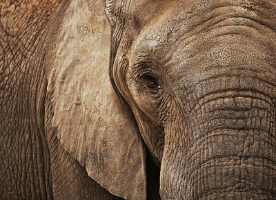 Christina Conway Royalty-Free and Rights-Managed Images - An Elephants Gaze by Christina Conway