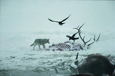An Elk Carcass Becomes A Snowy Buffet Art Print