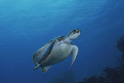 Green Sea Turtle Photograph - An Endangered Green Sea Turtle by George Grall