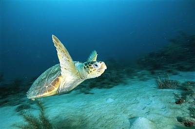 An Endangered Loggerhead Turtle Art Print by Brian J. Skerry