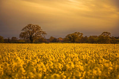 An Evening In The Rapeseed Field Print by Chris Fletcher