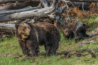 Photograph - An Evening With Grizzlies by Yeates Photography