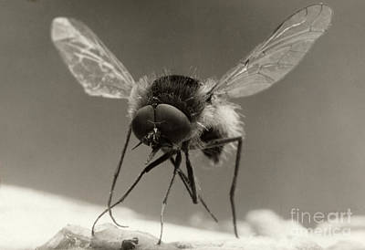 Photograph - An Extreme Close Up Of A Bee Fly by David G Fairchild