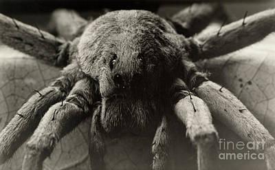 Photograph - An Extreme Close Up Of A Carolina Wolf Spider by David G Fairchild