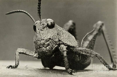 Photograph - An Extreme Close Up Of A Grasshopper by David And Marian Fairchild