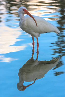 Photograph - An Ibis Reflecting by Ed Gleichman