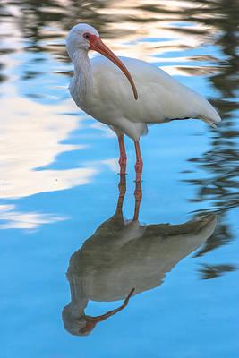 Photograph - An Ibis Reflecting by Ed Gleichman
