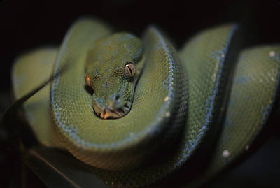 An Immature Green Tree Python Curled Art Print by Taylor S. Kennedy