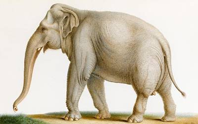 1770 Painting - An Indian Elephant by MotionAge Designs